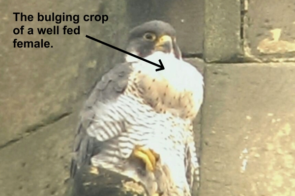 Female peregrine after a good meal.