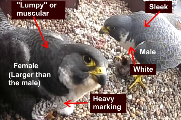Female and male peregrines.