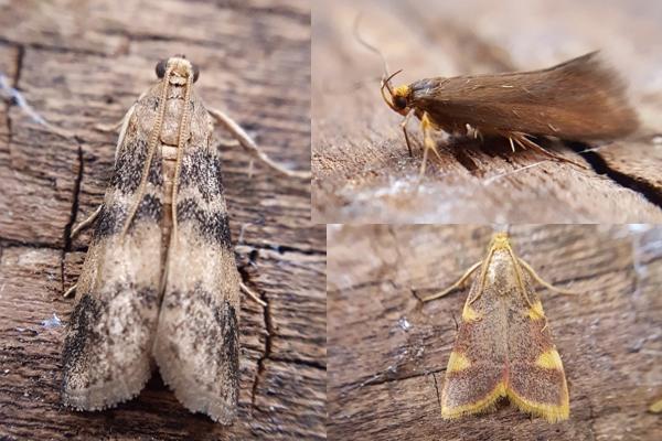 Micro-moths