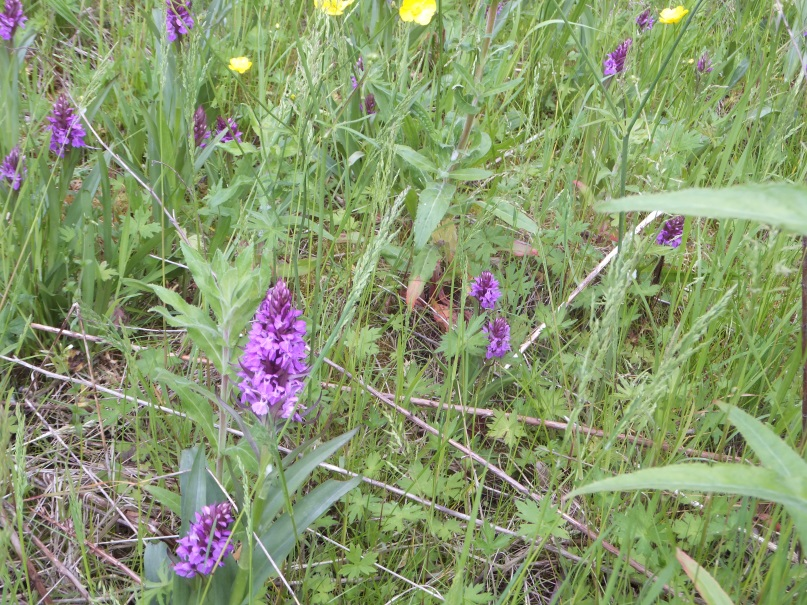 Northern marsh orchids