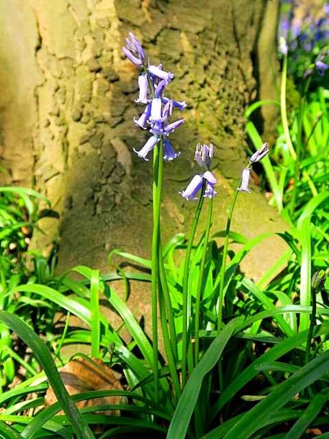 Newmiller Dam bluebells