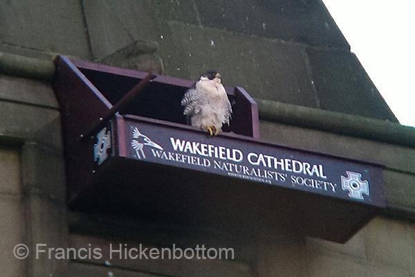 peregrine nestbox Wakefield