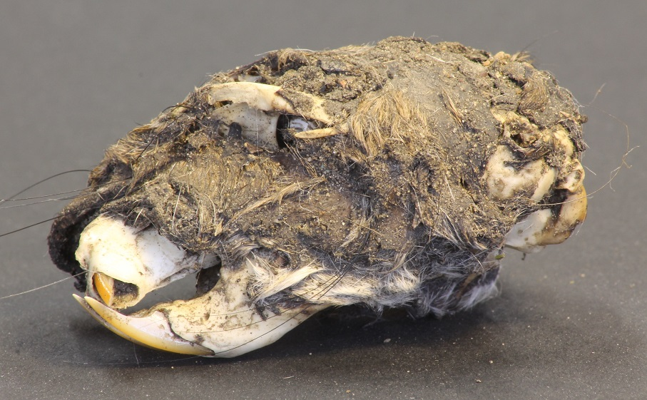 Rat skull from a tawny owl pellet