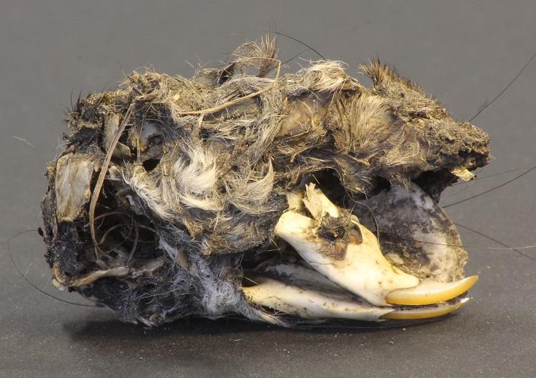 Rat skull from a tawny owl pellet