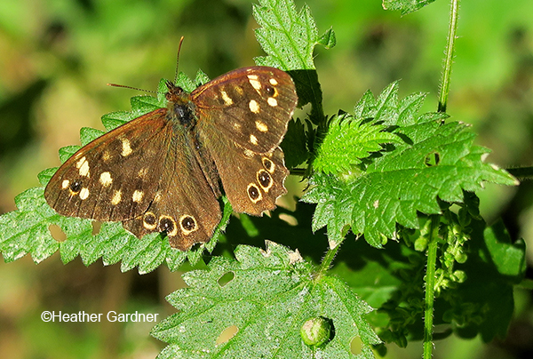 Speckled wood on nettle