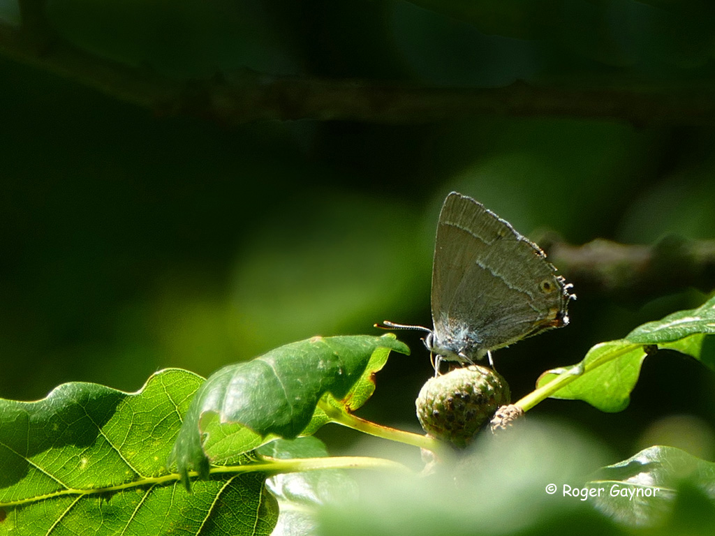 purple hairstreak butterfly