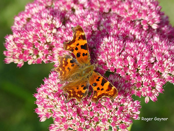 comma on sedum