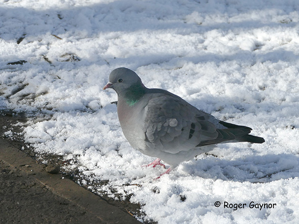 Stock dove at Thornes park