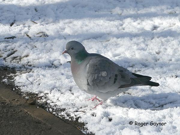 Stock dove at Thornes park