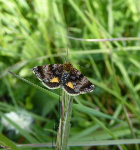 small yellow underwing moth