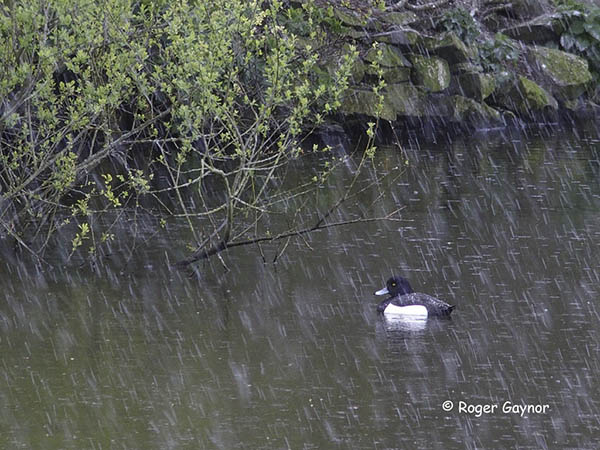 tufted duck in the rain