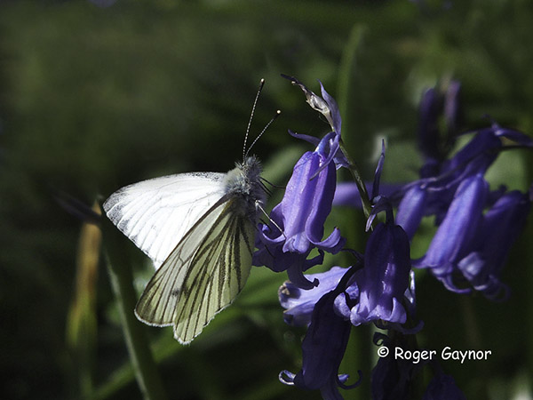 green-veined white on bluebell