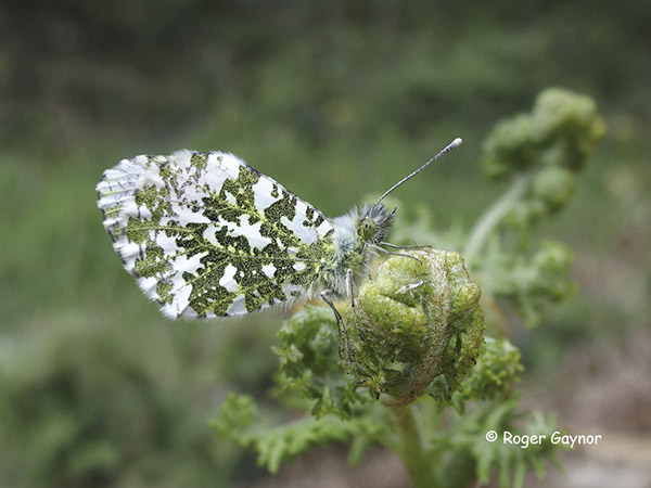orange tip male roosting