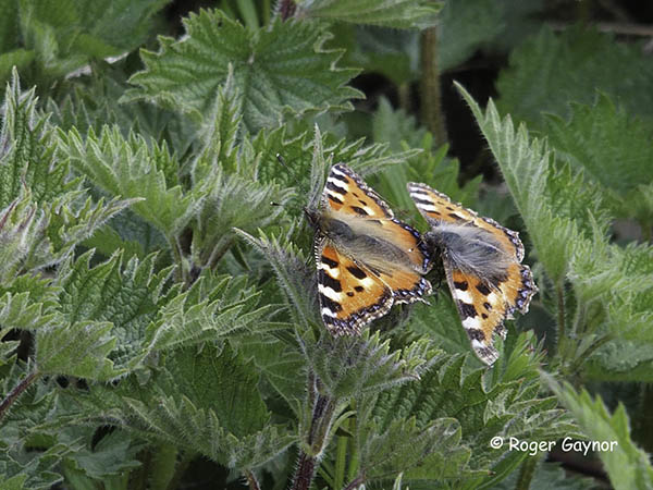 small tortoiseshell mating