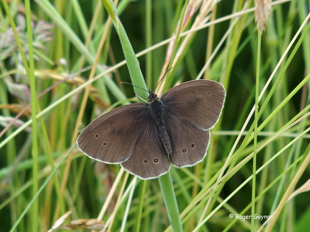 ringlet butterfly Nostell Priory