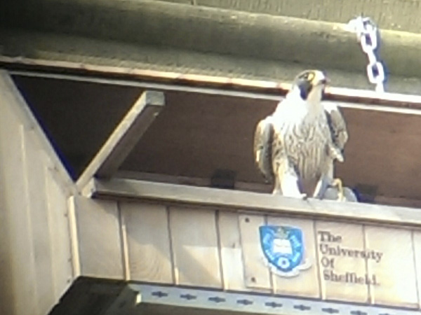 Peregrine on the nestbox