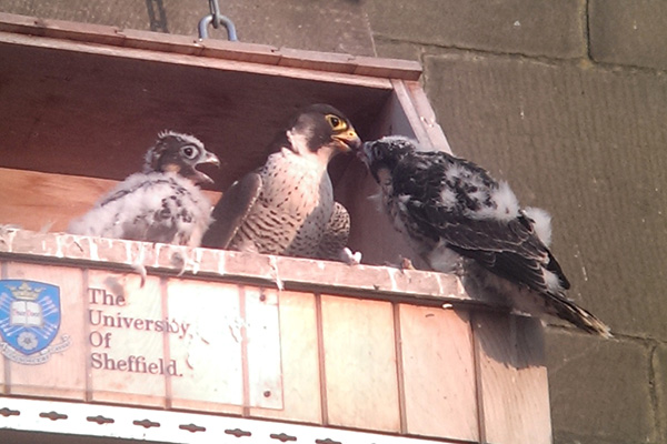 Peregrine falcon on Wakefield cathedral