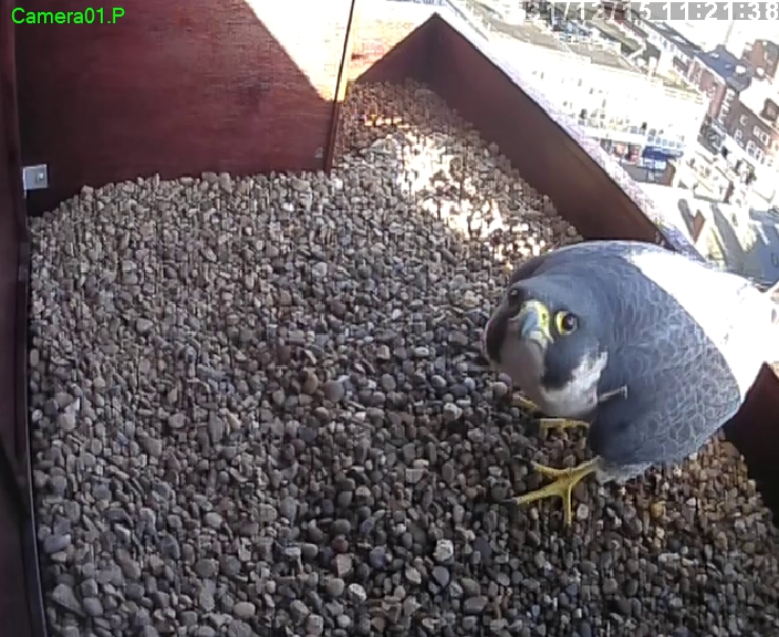Wakefield cathedral peregrine