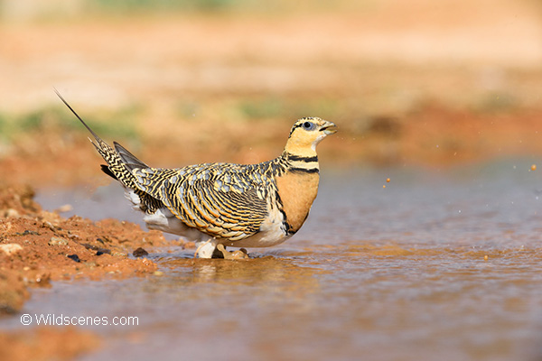 Pin-taiked Sandgrouse