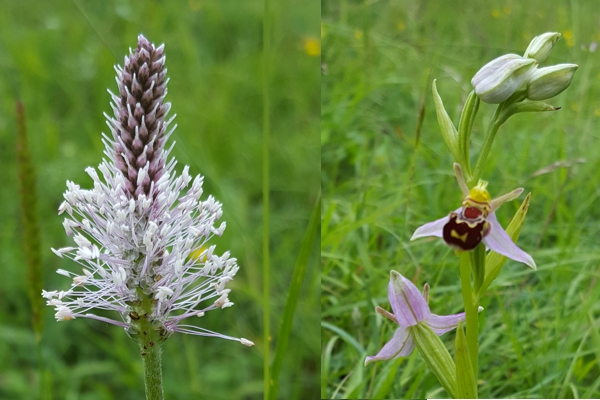 Hoary Plantain (Plantago media) & Bee Orchid (Ophrys apifera)