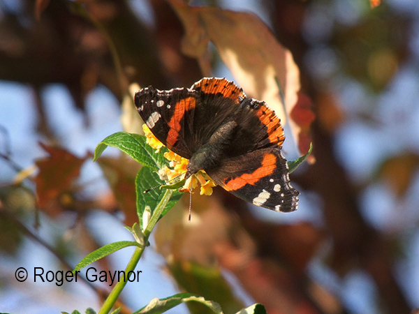 November red admiral, Wrenthorpe