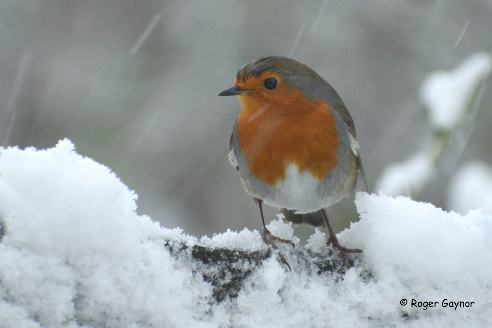 Robin searching for food. 14 January 2021