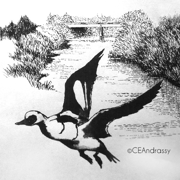 drawing of Smew on Calder