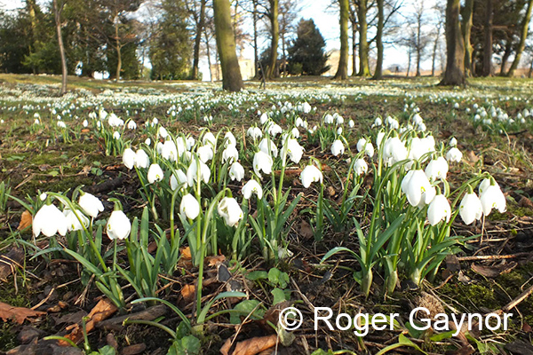 Snowdrops at Nostell