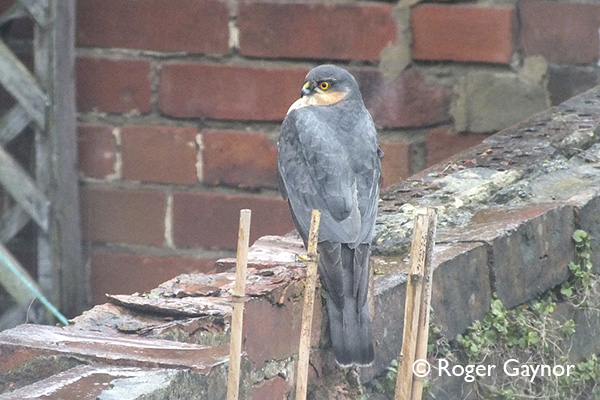 male sparrowhawk, Wrenthorpe