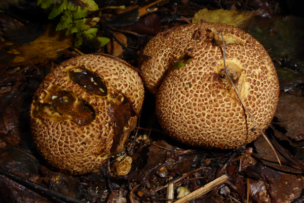 Earthball (Scleroderma)