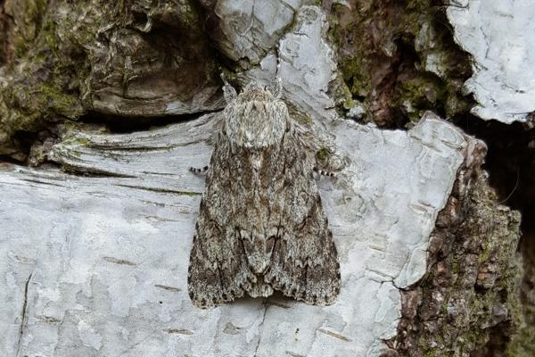 Sycamore Moth (Acronicta aceris)