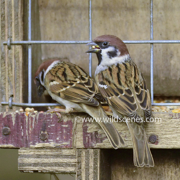Tree sparrows at a feeder