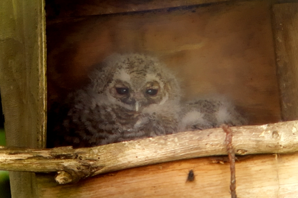 Tawny owl chicks at Ackworth