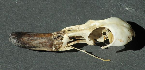 Teal skull