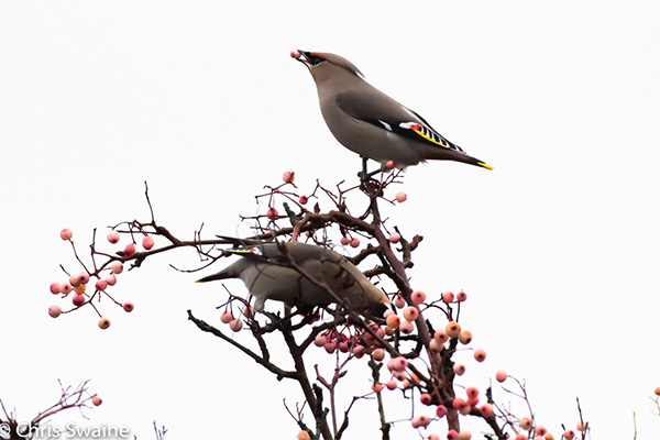 Waxwings in Crofton