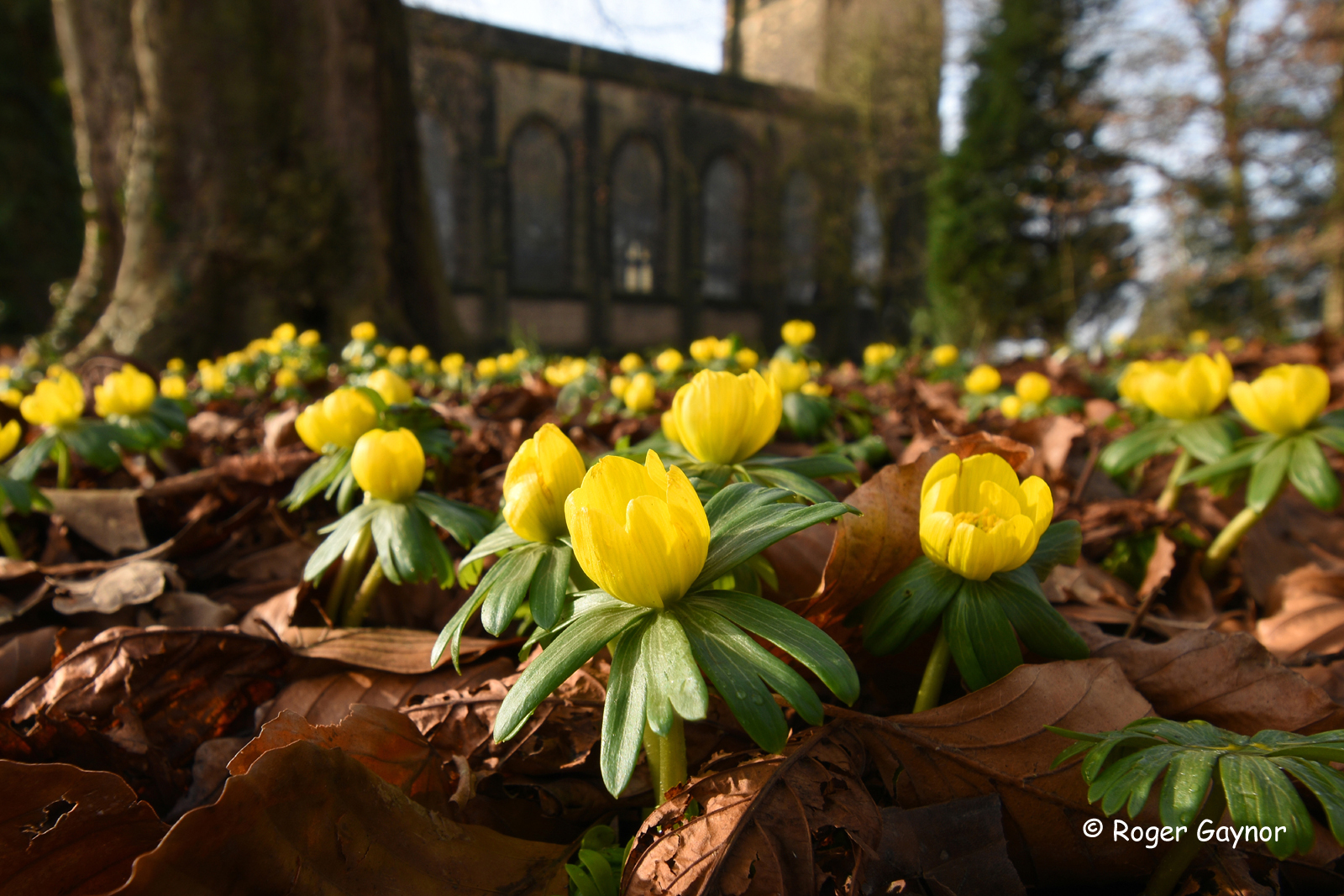 Winter aconites at Alverthorpe