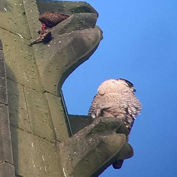 peregrine falcon Wakefield cathedral