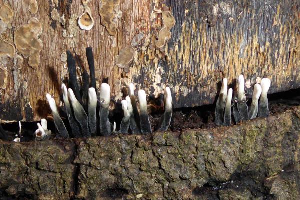 Candlesnuff fungus (Xylaria hypoxylon)