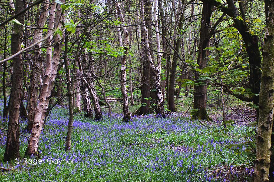 bluebells in Stoneycliffe wood