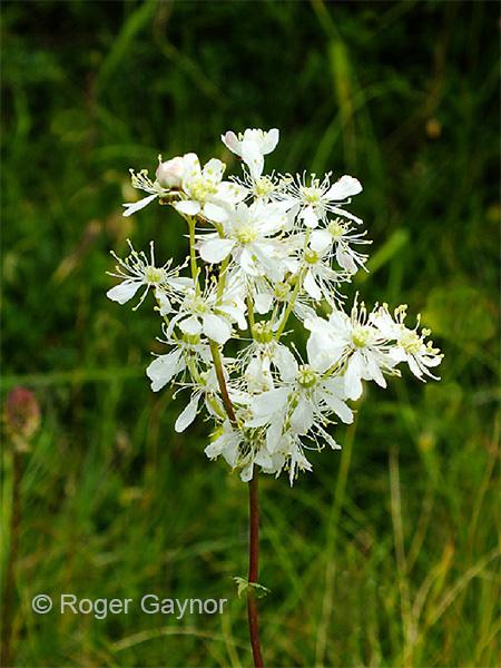 dropwort (Filipendula vulgaris)