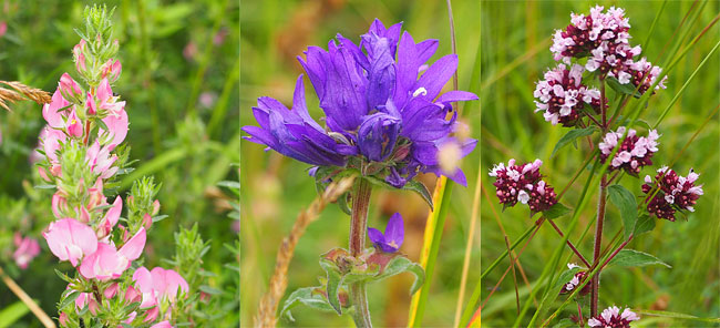 Restharrow, clustered bellflower, wild marjoram.