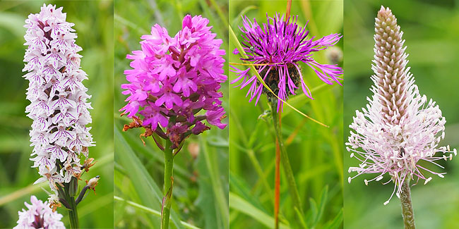 Hybrid orchid, pyramidal orchid, grater knapweed, hoary plantain.